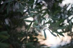 Olive close up